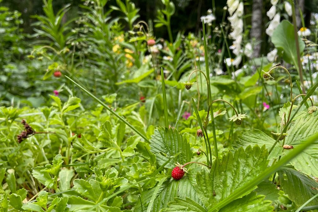 kuvassa mansikoita